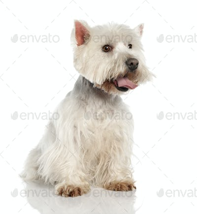 West Highland White Terrier (5 years old)