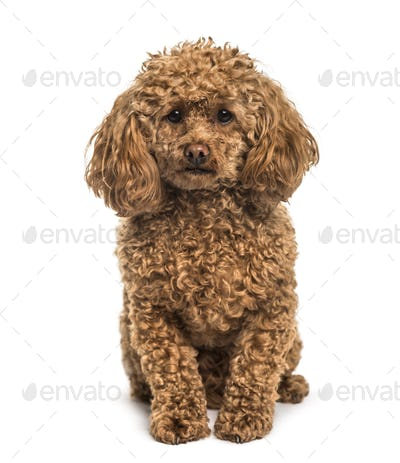 Poodle sitting against white background