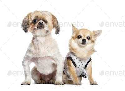 Blind Mixed-breed dog, Chihuahua sitting in front of white background