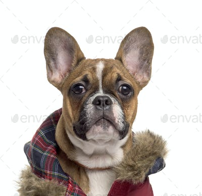 French Bulldog, 4 months old, in front of white background