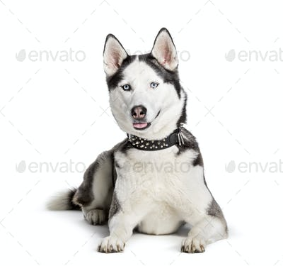 Siberian Husky looking at camera against white background