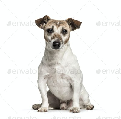 Old Jack Russell, 12 years old, sitting in front of white background