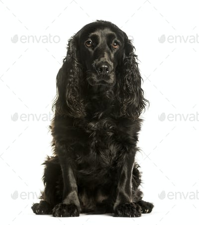 Cocker spaniel sitting against white background