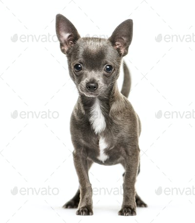 Chihuahua, 5 months old, in front of white background
