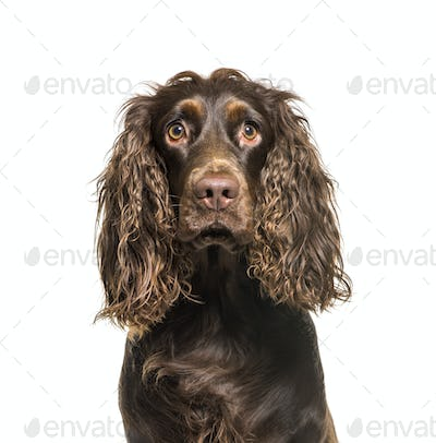 English Cocker Spaniel in front of white background