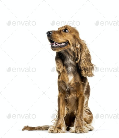 English Cocker Spaniel sitting in front of white background