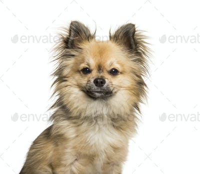 Chi-chi, mixed breed Chinese Crested Dog and Chihuahua looking at camera against white background