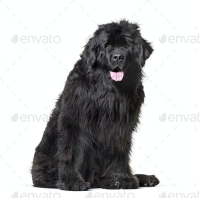 Newfoundland , 10 months old, sitting against white background