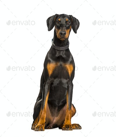 Doberman dog sitting against white background