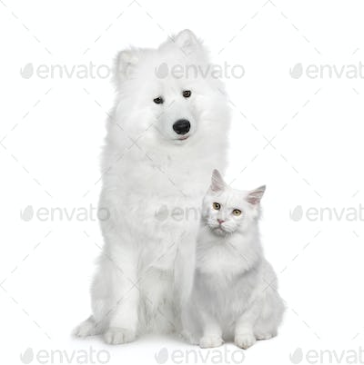 Cat and dog, Turkish Angora and Samoyed in front of a white background