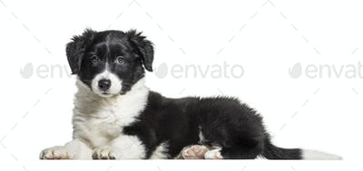 Border Collie, 9 weeks old, lying in front of white background