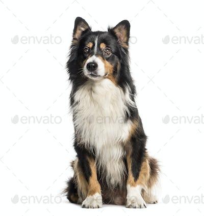 Australian Shepherd sitting in front of white background