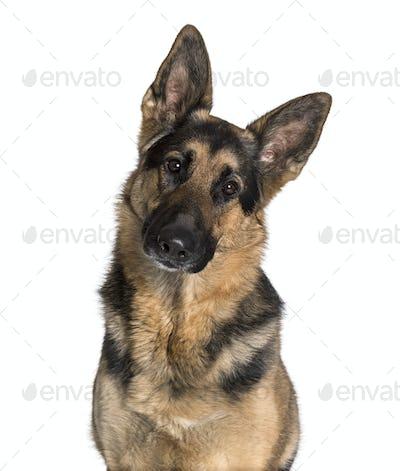 German Shepherd looking at camera against white background