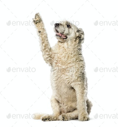Bouvier des Flandres sitting in front of white background