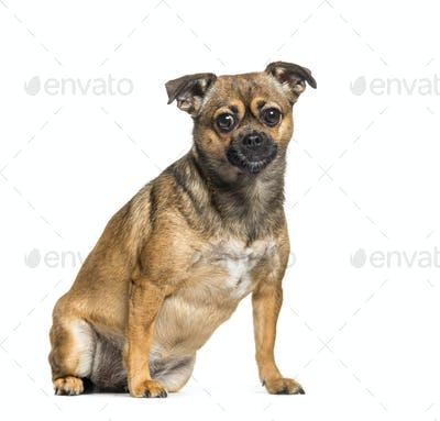 Cross breed between Pekingese and Pinscher sitting in front of white background