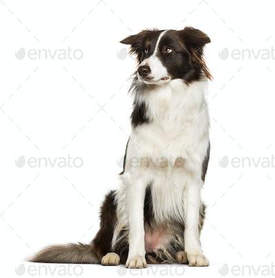 Border Collie sitting against white background