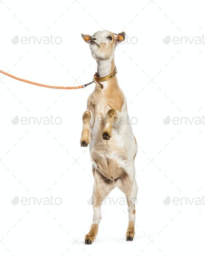 Goat rearing up on leash in front of white background