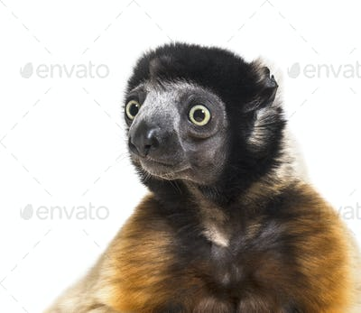 Crowned Sifaka against white background