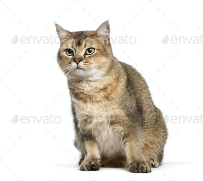 British Shorthair, 1 year old, sitting in front of white background