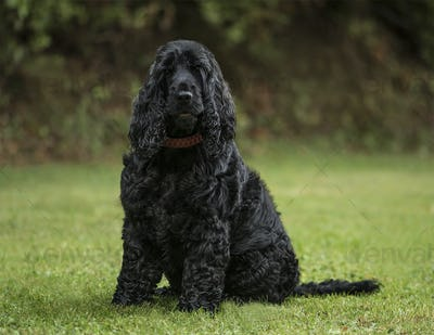 English Cocker Spaniel, 3 years old, in park