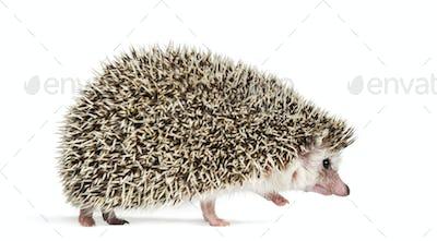 walking away European Hedgehog in front of white background