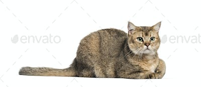 British Shorthair, 1 year old, lying in front of white background