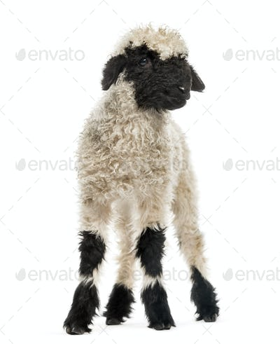 Lamb standing in front of white background