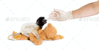 Soa, 4 months old, Crowned Sifaka, feeding from syringe against white background