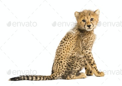 Back view of a three months old cheetah cub sitting, isolated on white