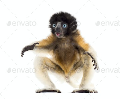 Soa, 4 months old, Crowned Sifaka against white background