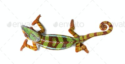 Panther chameleon, Furcifer pardalis against white background