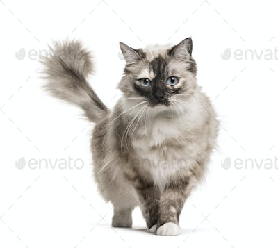 Ragdoll standing against white background