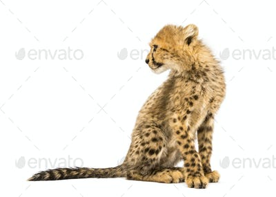 three months old cheetah cub looking back, sitting, isolated on white