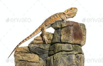 Bearded Dragon, Pogona vitticeps, on rock in front of white background