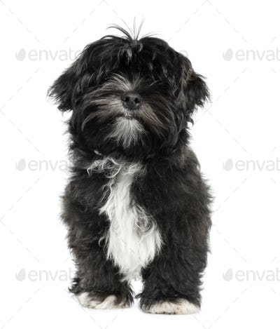 Lhasa Apso puppy (4 months old)