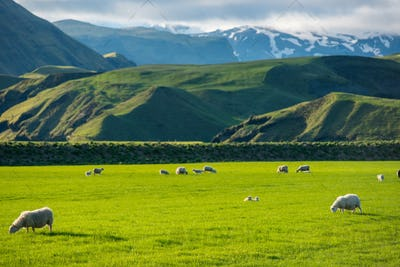 Icelandic landscape with grazing sheep