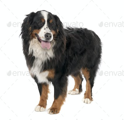 Bernese mountain dog (3 years old)