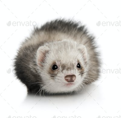 Portrait of young ferret in front of white background, studio shot