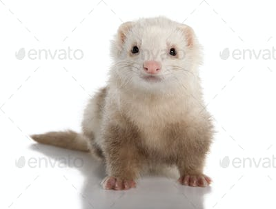 ferret - Mustela putorius furo (7 years old)