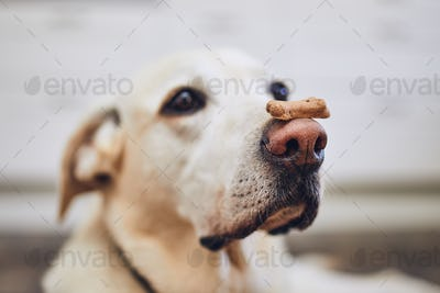 Dog balancing dog biscuit on his nose