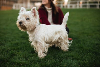 Small white dog standing on grass and with interest looking aside in park with owner on background