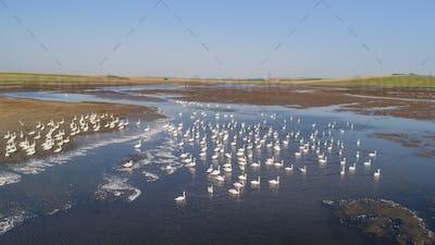 white swans in Danube Delta, Romania