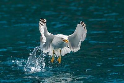 Gull hunting down fish