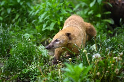 South American Coati (Nasua), wild animal looking like raccoon