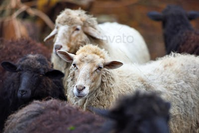 Family sheep in the farm. Breeding animals