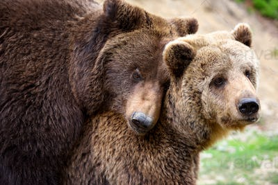 Brown bears mating in the spring forest