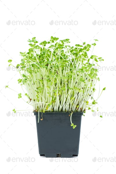 Mustard sprouts in black plastic pot isolated on white background