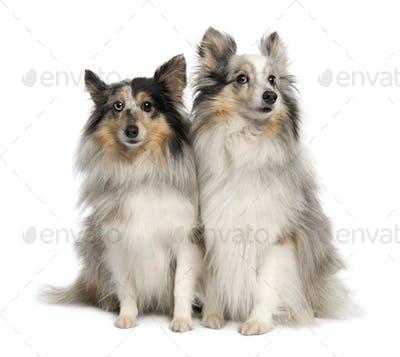 Couple of two shelties