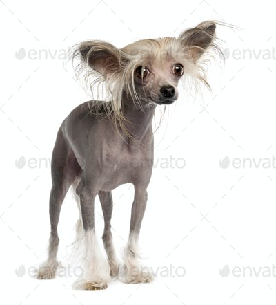 Chinese Crested Dog - Hairless (3 years old)