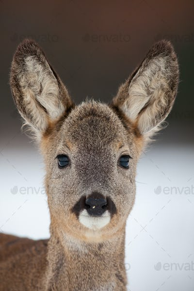 Portrait of roe deer, capreolus capreolus, in winter